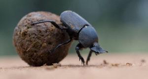 110115_sm_dung-beetle_free